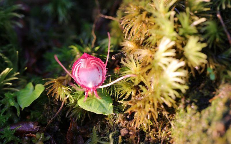 杏悦:冲首次发现两种杏悦铠兰属植物其中一种为图片