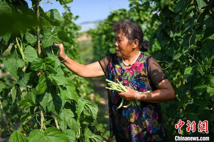 村民罗玉花正在采摘豆角。 武俊杰 摄