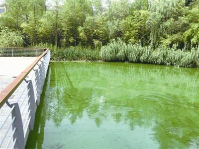 景观河水面泛绿 职能部门确定治理方案
