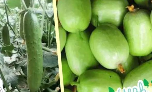"""走向我们的小康生活山东省济宁市汶上县:有机蔬菜""""种""""出绿色发展梦"""