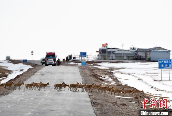 青海可可西里今年藏羚羊迁徙产仔结束