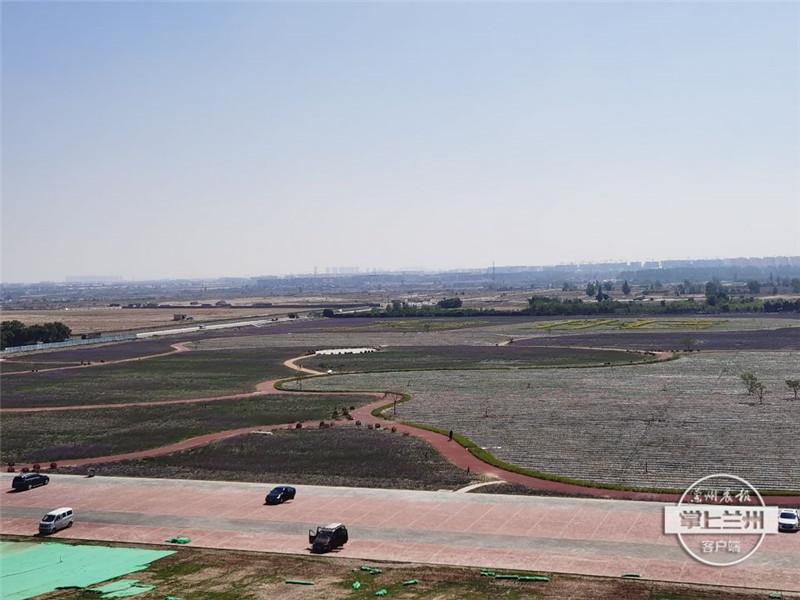 花似锦,景如画!兰州中川机场临港的紫色花海实在藏不住了......