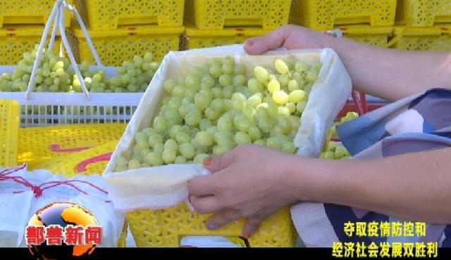 鄯善县鲜食葡萄进入丰收季