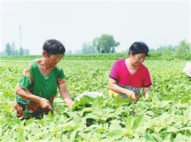 河北邢台南和区野菜种植增收致富