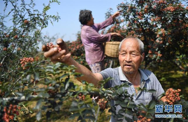 陕西华州:小小花椒树 致富大产业