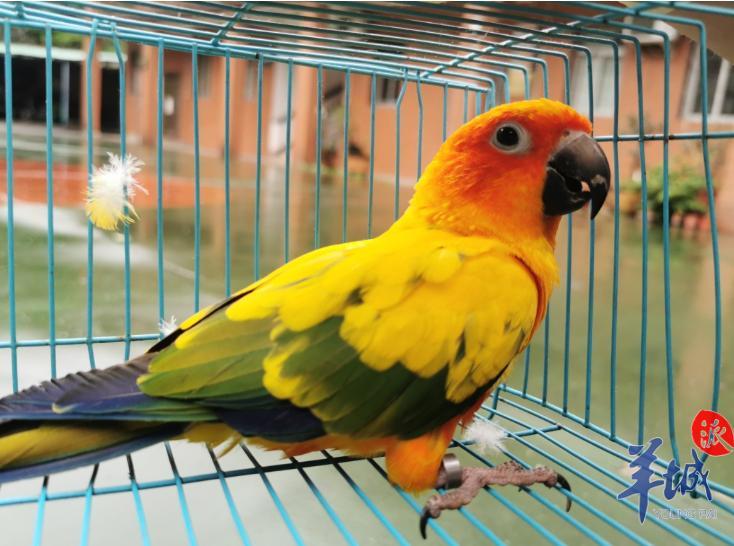 鹦鹉不是想养就能养!部分种类为国家保护动物,饲养犯法