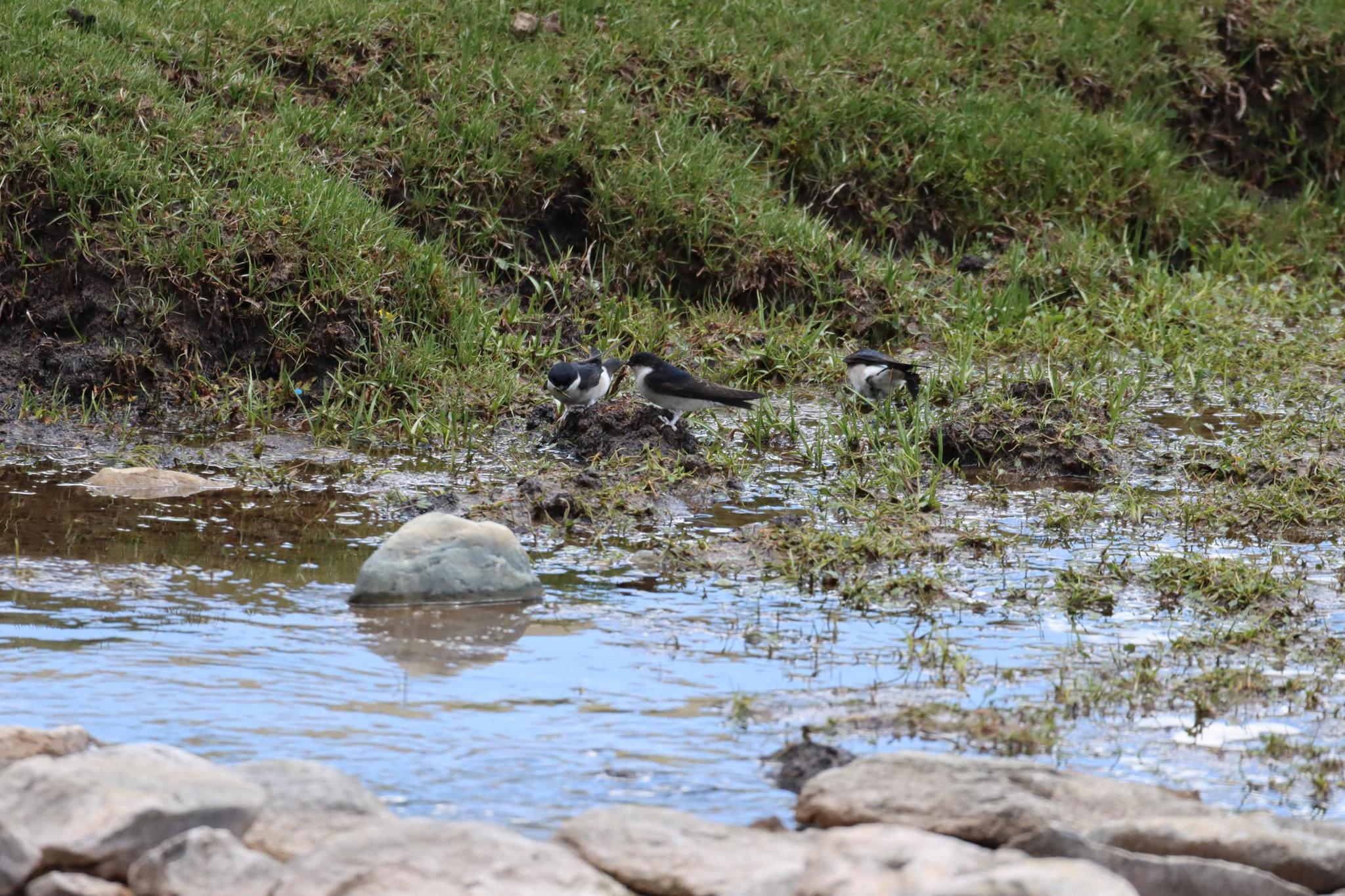请审】我省隆宝国家级自然保护区又添鸟类新成员——烟腹毛脚燕