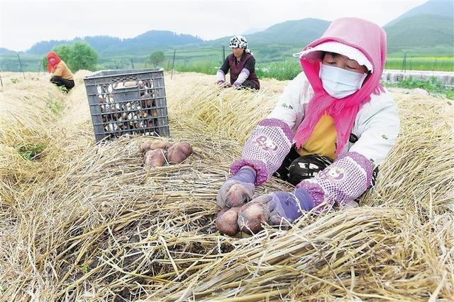 临夏州松鸣镇狼土泉村群众正在采收赤松茸