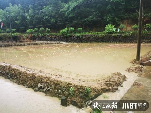心痛!水稻田泡汤,有农户两月补播3次种都被淹,余杭启用赈灾种子