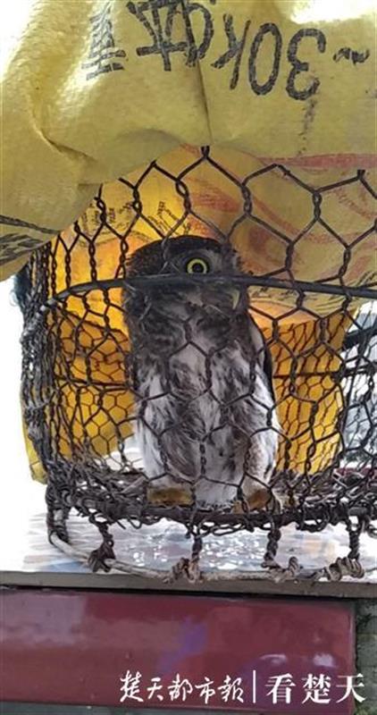 猫头鹰雨中落难,被村民捡到后放生