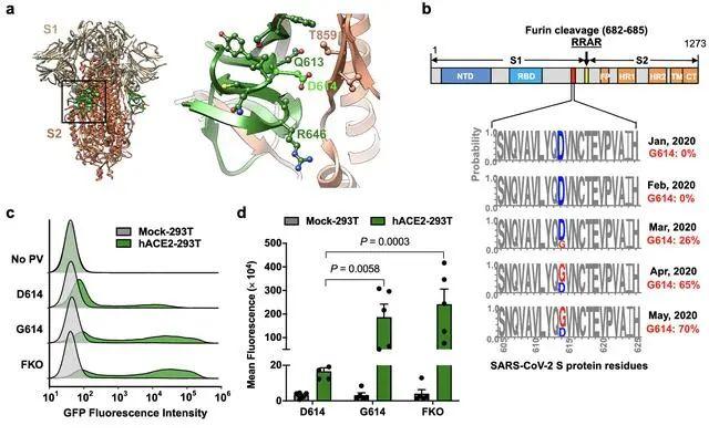 D614G 突变与传染性增强有关。 来源:Scripps Research