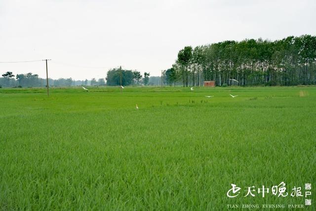 水稻长势旺,白露来观光