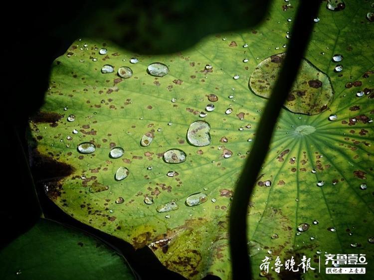 雨后荷塘,荷叶上雨珠点点