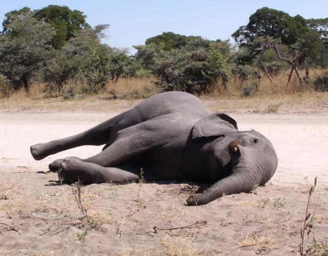 数百头大象离奇死亡!疫情下的非洲大象王国发生了什么