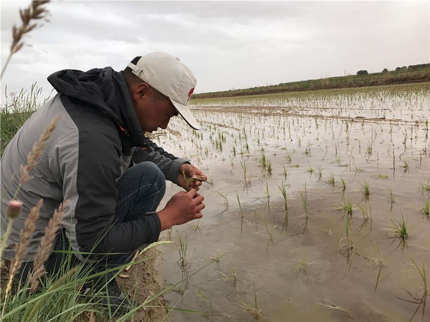 格尔木盐碱地试种海水稻已成活