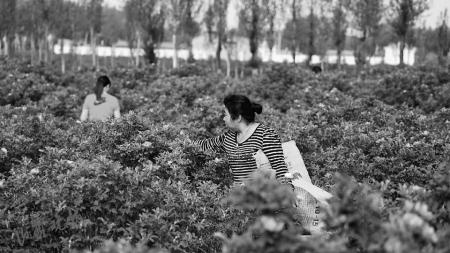 朔州薛家店村:玫瑰花迎来采摘期