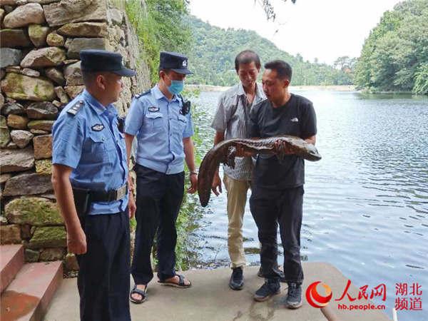 湖北广水:稻田惊现体长1.1米野生娃娃鱼
