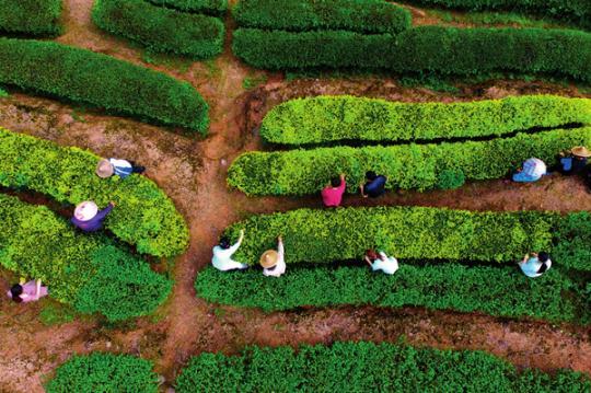 揭开天价岩茶背后的层层乱象:将外地茶改头换面后销售