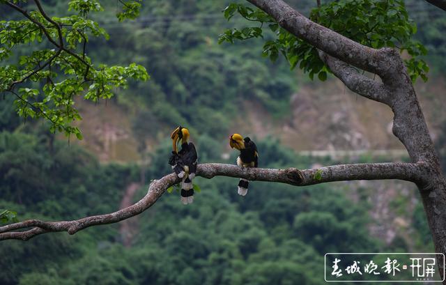 """""""终于拍到啦 """"雨林中坚守36天 云南摄影师终于拍到犀鸟宝宝出巢影像"""