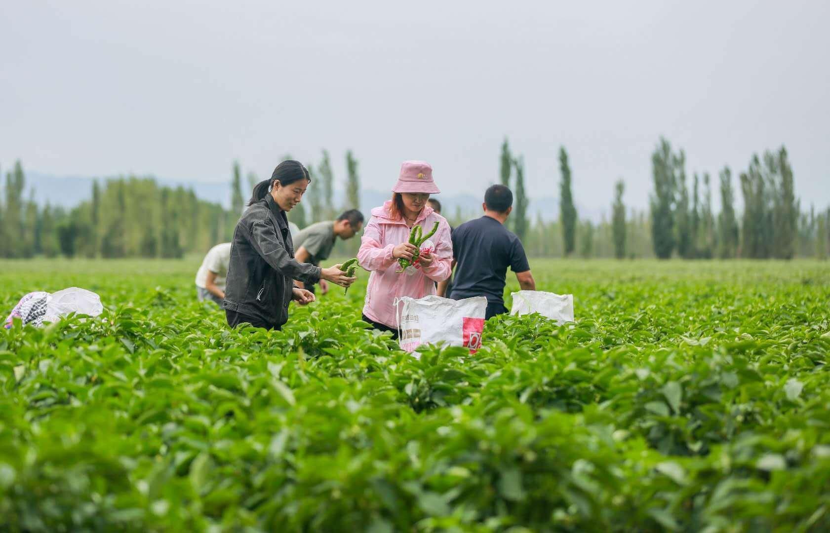 采摘、搬运,一派丰收景象!新疆呼图壁辣椒丰收