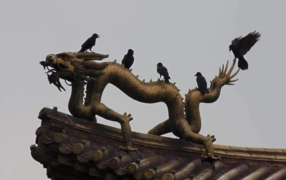 晚上住满了黑乌鸦,为啥北京乌鸦