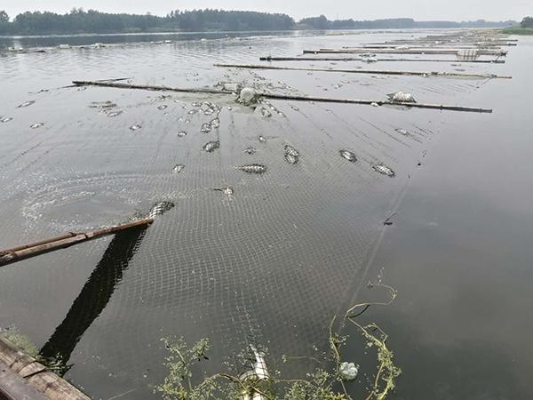 沭河马陵山镇黄甲段水域,部门死鱼漂在水面。