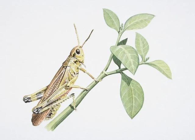 夜话丨法布尔:昆虫记之蟋蟀的乐器