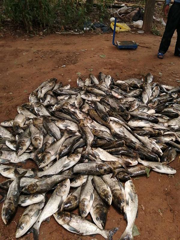 一网箱的死鱼。6月18日上午,渔政前来评估丧失,一个网箱两百多条,六七百斤。