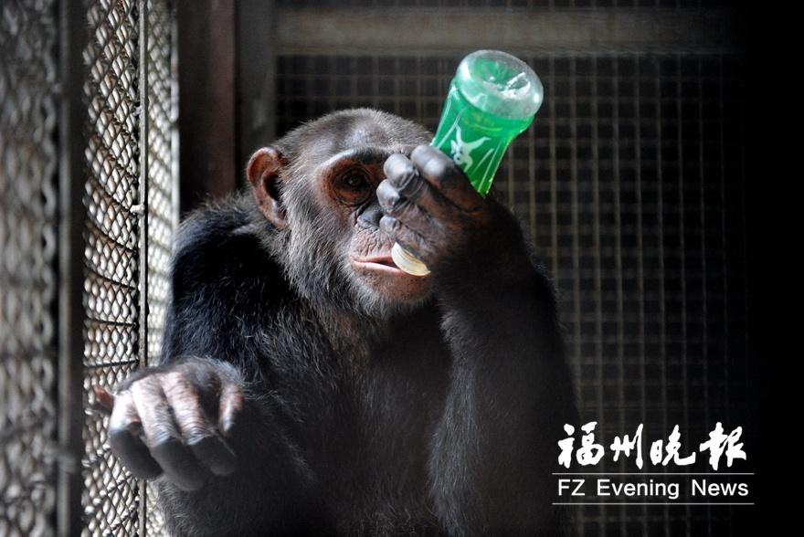 福州动物园里动物们如何避暑?黑猩猩喝凉茶长颈鹿吃西瓜