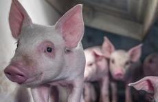 房企万科跨出养猪实质步伐:在山东东营建345亩生猪养殖基地