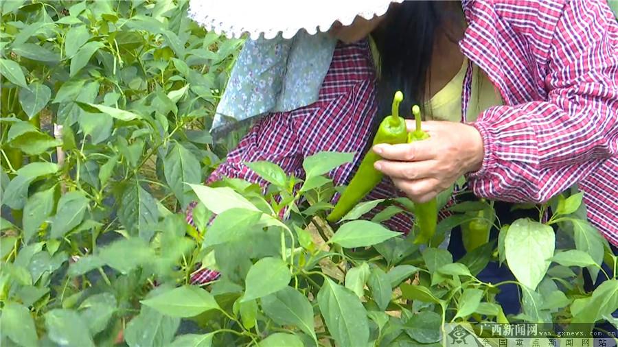 农户种植大青辣椒。龙胜融媒体中心记者 石孟华 摄