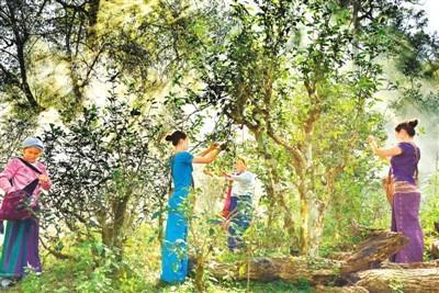 《人民日报》海外版聚焦云南景迈山古茶林:正在申遗的全球第一处茶文化景观