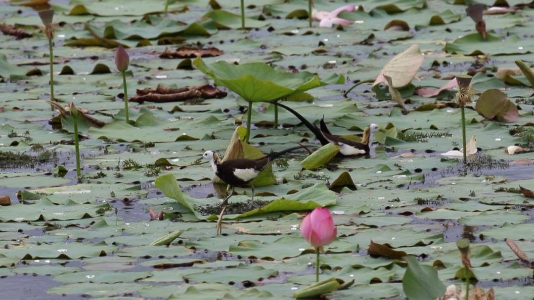 """【生态】""""凌波仙子""""步清波,这个湖,摄友爱了"""