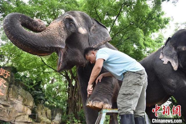 """""""世界大象日"""":深圳野生动物园的大象做了个""""美甲"""""""