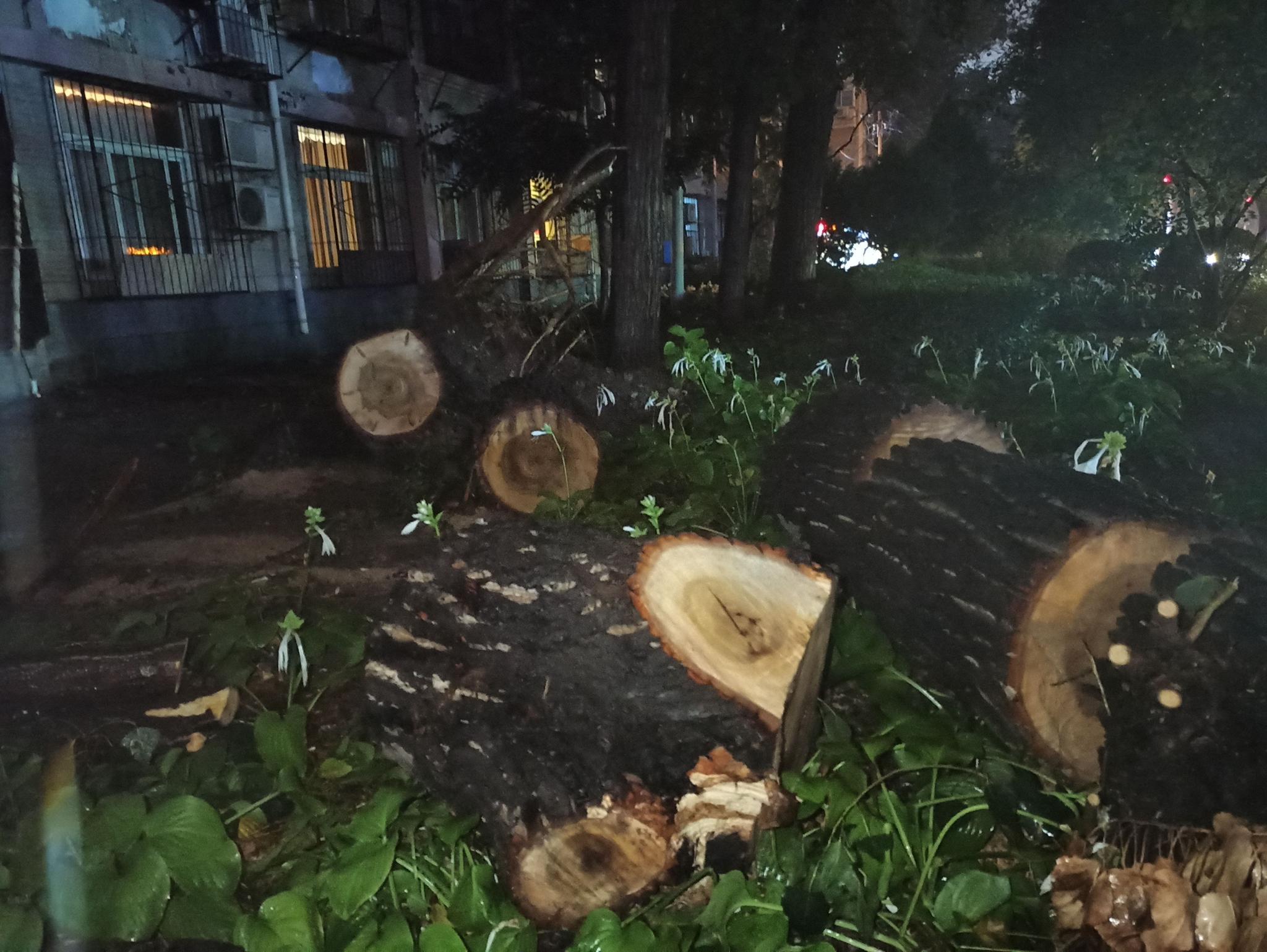 北京三里屯一20余米高杨树在雨中倾倒,7辆轿车被砸无人受伤