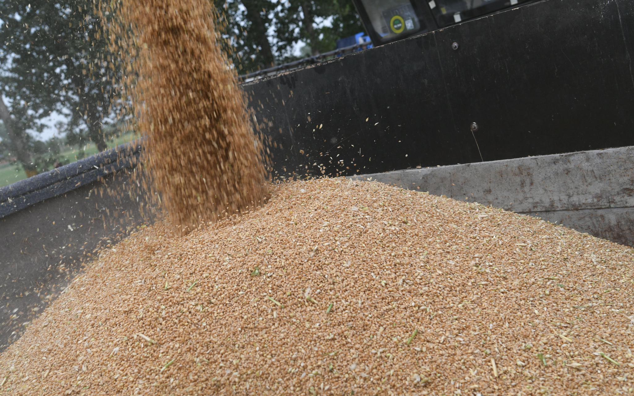 小麦收购减少近千万吨 并非产量减少