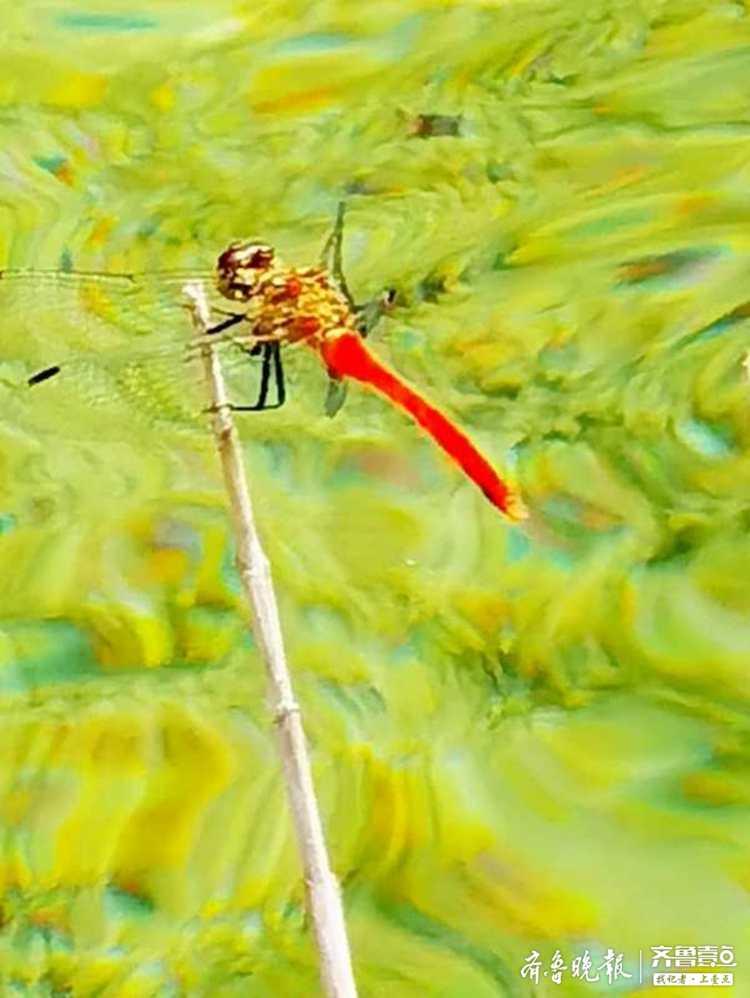 昆嵛山里的蜻蜓,多姿多彩