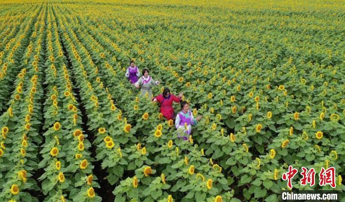 中国边城黑河万亩金葵花变农民致