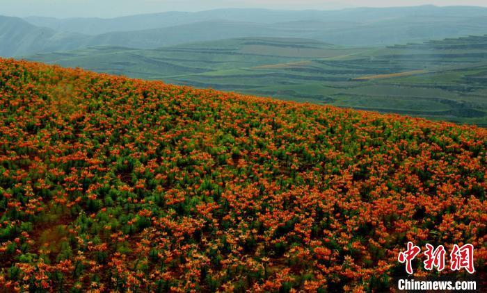 甘肃榆中五万余亩百合红遍黄土塬