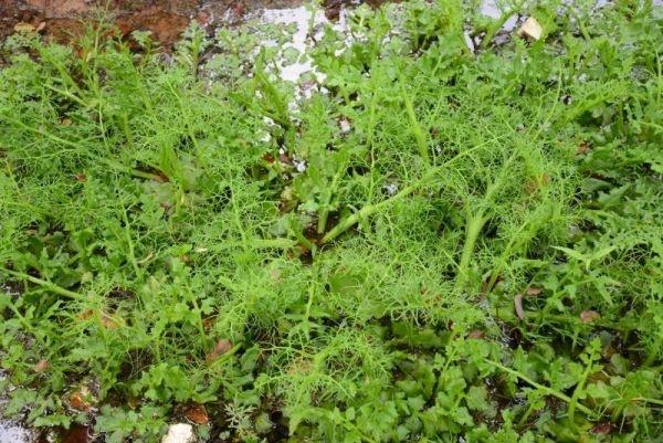 武汉湿地发现大片世界极危植物粗梗水蕨,专家:表明生态保护较好