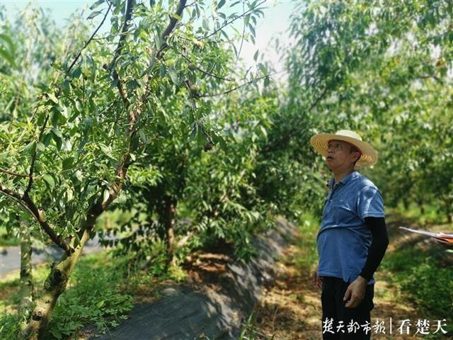 果树专家田间地里跑了近30年,夏日炎炎忙传经送宝到农家