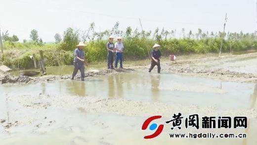 蕲春县八里湖金穗水稻专业合作社农工在补种秋晚稻