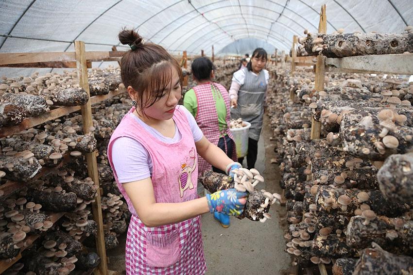 云南宁洱:香菇扶贫车间助农脱贫增收