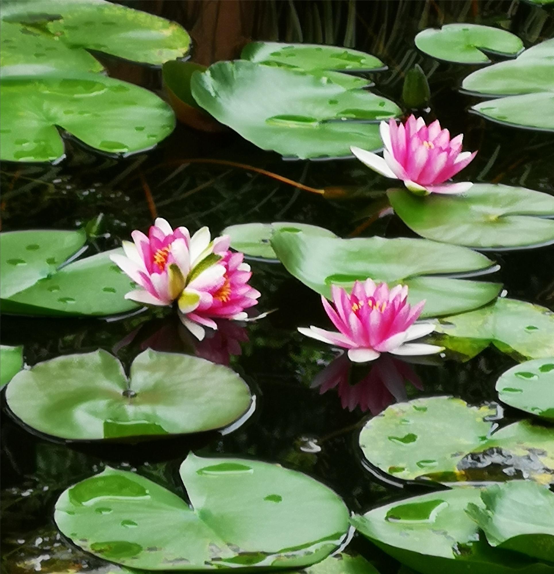 十万分之一的幸运!江浦公园出现一株并蒂莲,但想来观赏的游客且慢……