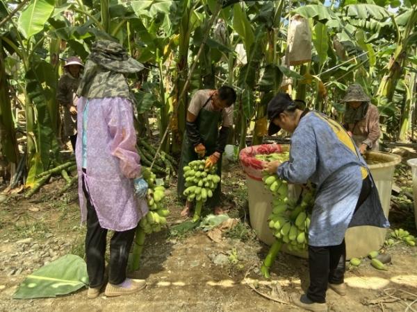 册亨县几千亩苹果香蕉日销量近10吨
