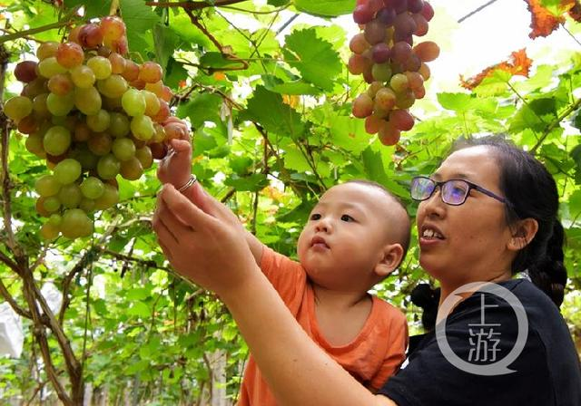 重庆酉阳:无公害有机葡萄上市了