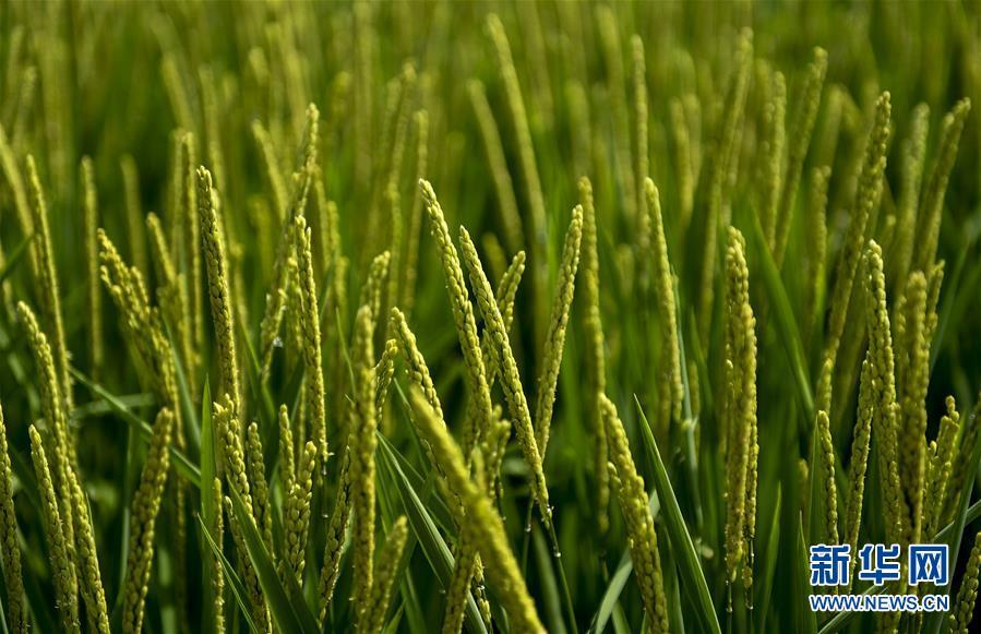 水稻今年有望实现丰收
