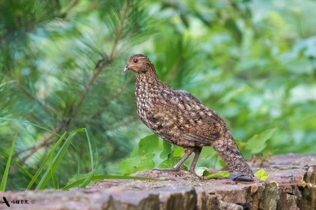 文成县首次拍摄到国家一级保护动物黄腹角雉影像