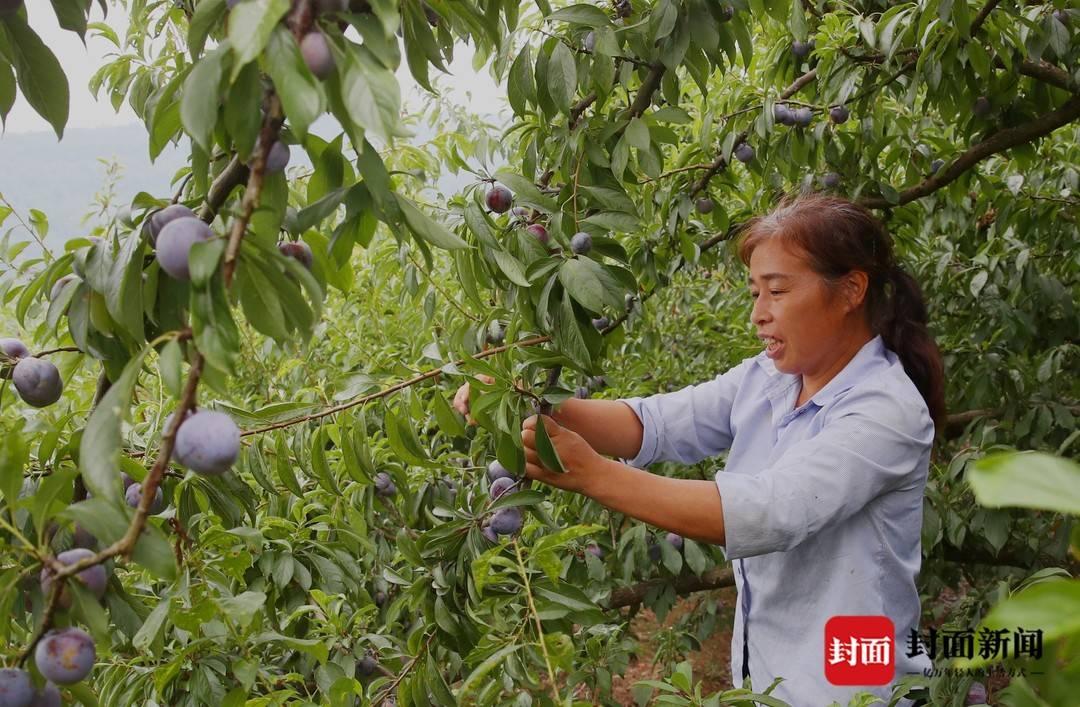 丰收季   四川宣汉庙安镇2万亩脆李让群众腰包鼓起来了
