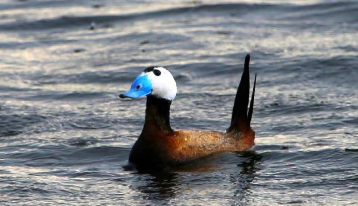 白头硬尾鸭安家乌伦古湖,新疆福海生态修复生机盎然